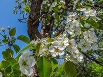 Το άσπρο μήλο ανθίζει την άνοιξη Στοκ Εικόνες
