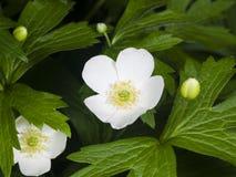 Το άσπρο λουλούδι anemone η μακρο, εκλεκτική εστίαση, ρηχό DOF Στοκ Εικόνες