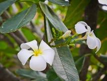 Το άσπρο λουλούδι plumeria με τη στενή επάνω άποψη Στοκ εικόνα με δικαίωμα ελεύθερης χρήσης