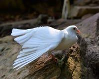 Το άσπρο περιστέρι παρουσιάζει φτερά Στοκ Φωτογραφία