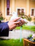 Το άσπρο περιστέρι υπό εξέταση Στοκ φωτογραφίες με δικαίωμα ελεύθερης χρήσης