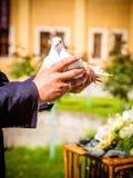 Το άσπρο περιστέρι υπό εξέταση Στοκ Φωτογραφίες