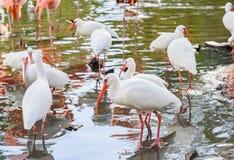 Το άσπρο πουλί θρεσκιορνιθών στο πάρκο το φθινόπωρο στοκ φωτογραφία