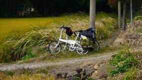 Το άσπρο ποδήλατο στον τομέα, ο χρυσός ορυζώνας ρυζιού & η μακριά ξηρά χλόη ταλαντεύονται στον αέρα φιλμ μικρού μήκους