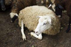 Το άσπρο πρόβατο βρίσκεται Στοκ Εικόνες