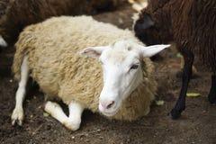 Το άσπρο πρόβατο βρίσκεται Στοκ Εικόνα