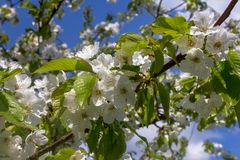 Το άσπρο ροδάκινο ανθίζει την άνοιξη Στοκ εικόνες με δικαίωμα ελεύθερης χρήσης