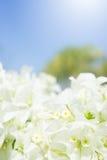 Το άσπρο ρομαντικό εκλεκτής ποιότητας υπόβαθρο λουλουδιών Στοκ Εικόνα