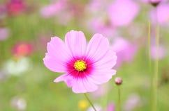 Το άσπρο ρόδινο λουλούδι στον κήπο Στοκ Φωτογραφία