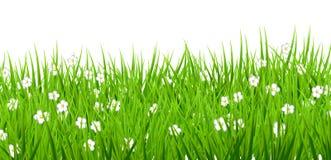 Το άσπρο υπόβαθρο ανθίζει την πράσινη χλόη μαργαριτών Στοκ Εικόνες