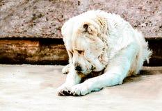Το άσπρο alabai κάθεται λυπημένο στοκ φωτογραφίες με δικαίωμα ελεύθερης χρήσης