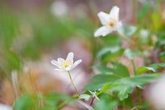 Το άσπρο anemone ανθίζει την άνοιξη Στοκ εικόνα με δικαίωμα ελεύθερης χρήσης