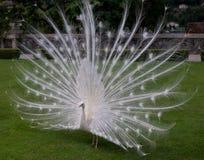 Το άσπρο peacock Στοκ Εικόνα