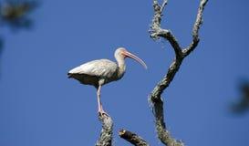 Το άσπρο wading πουλί θρεσκιορνιθών εσκαρφάλωσε στο δέντρο, εθνικό καταφύγιο άγριας πανίδας νησιών Pickney, ΗΠΑ Στοκ Εικόνες