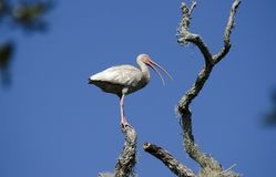 Το άσπρο wading πουλί θρεσκιορνιθών εσκαρφάλωσε στο δέντρο, εθνικό καταφύγιο άγριας πανίδας νησιών Pickney, ΗΠΑ Στοκ φωτογραφία με δικαίωμα ελεύθερης χρήσης