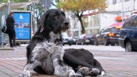 Το άστεγο δασύτριχο σκυλί βρίσκεται σε μια οδό πόλεων στα πλαίσια της διάβασης των αυτοκινήτων και των ανθρώπων απόθεμα βίντεο