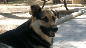 Το άστεγο όμορφο μεγάλο σκυλί βρίσκεται σε μια οδό πόλεων φιλμ μικρού μήκους