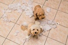 Το άτακτο σκυλί κατέστρεψε το ρόλο ιστού στα κομμάτια όταν σπίτι μόνο Στοκ φωτογραφίες με δικαίωμα ελεύθερης χρήσης