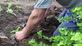 Το άτομο κάθεται τα σπορόφυτα ντοματών για τον κήπο σας απόθεμα βίντεο