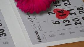 Το άτομο καθορίζει το κόκκινο λουλούδι μαργαριτών του Transvaal ημερολογιακή πλησίον χρωματισμένη στη μορφή καρδιών απόθεμα βίντεο