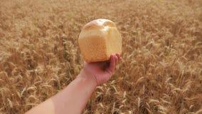 Το άτομο κρατά ένα ψωμί σε έναν τομέα σίτου σε αργή κίνηση βίντεο επιτυχής χρονικός σίτος συγκομιδών πεδίων γεωπόνων ώριμο χρονικ φιλμ μικρού μήκους