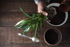 Το άτομο μεταμοσχεύει ένα λουλούδι Spathiphyllum στο δοχείο λουλουδιών στο δικαίωμα Στοκ εικόνες με δικαίωμα ελεύθερης χρήσης