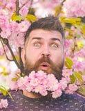 Το άτομο με τη γενειάδα και mustache στο έκπληκτο πρόσωπο κοντά στα ρόδινα λουλούδια, κλείνει επάνω Γενειοφόρο άτομο με το sakura στοκ φωτογραφίες με δικαίωμα ελεύθερης χρήσης