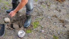 Το άτομο μπροστά από την αλιεία σκάβει τα σκουλήκια με ένα φτυάρι στο έδαφος και την άμμο απόθεμα βίντεο