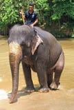 Το άτομο οδηγά τον ελέφαντα στην Κουάλα Gandah, Μαλαισία Στοκ Εικόνες