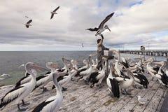 Το άτομο πελεκάνων, Kingscote, νησί καγκουρό, Νότια Αυστραλία Στοκ εικόνες με δικαίωμα ελεύθερης χρήσης