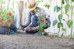Το άτομο που απασχολείται στο δεσμό φυτικών κήπων επάνω στις τοματιές, παίρνει την προσοχή για να τους κάνει να αυξηθούν περισσότ στοκ εικόνα με δικαίωμα ελεύθερης χρήσης