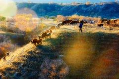 Το άτομο που που φροντίζει τις αγελάδες στο ηλιοβασίλεμα λόφων Στοκ εικόνα με δικαίωμα ελεύθερης χρήσης
