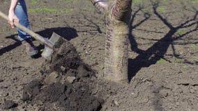Το άτομο σκάβει ένα δέντρο χρησιμοποιεί την άνοιξη ένα φτυάρι φιλμ μικρού μήκους