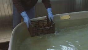 Το άτομο στα γάντια κατέγραψε τα ακατέργαστα μύδια στο πλαστικό κιβώτιο στην τεράστια μπανιέρα με το καθαρό νερό πλύση προετοιμασ φιλμ μικρού μήκους