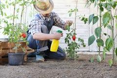 Το άτομο στο φυτικό κήπο ψεκάζει το φυτοφάρμακο στο φύλλο των τοματιών, προσοχή των φυτών στοκ φωτογραφία με δικαίωμα ελεύθερης χρήσης