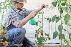 Το άτομο στο φυτικό κήπο ψεκάζει το φυτοφάρμακο στο φύλλο των τοματιών, προσοχή των φυτών στοκ εικόνα με δικαίωμα ελεύθερης χρήσης