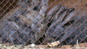 Το άτομο ταΐζει τα κουνέλια σε ένα hutch με το ψωμί απόθεμα βίντεο