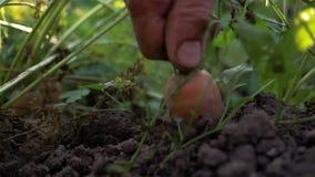 Το άτομο τραβά τα καρότα από το έδαφος φιλμ μικρού μήκους