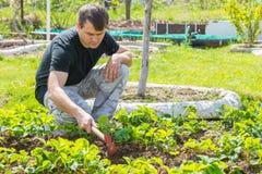 Το άτομο χαλαρώνει το έδαφος κάτω από τις φράουλες στο θερινό εξοχικό σπίτι τους Στοκ Εικόνα