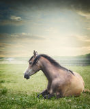 Το άλογο βρίσκεται και στηργμένος στο θερινό λιβάδι Στοκ Εικόνες