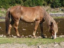 Το άλογο βόσκει ελεύθερα Στοκ Εικόνες
