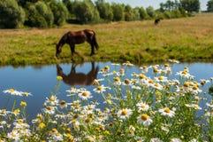 Το άλογο βόσκει τη λίμνη λιβαδιών Στοκ Εικόνες