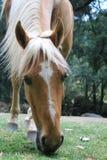 Το άλογο δεν πρόκειται να οδηγήσει, είναι για θαυμάζει. Στοκ Φωτογραφίες