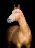 Το άλογο κάστανων που απομονώνεται το άλογο στο Μαύρο, φορά Στοκ φωτογραφία με δικαίωμα ελεύθερης χρήσης