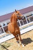Το άλογο κάστανων στέκεται στη μάντρα και τρώει το σανό Στοκ Φωτογραφίες