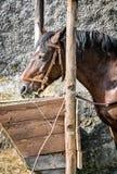 Το άλογο κάστανων ταΐζεται το σανό Στοκ Εικόνες