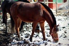 Το άλογο κόλπων ψάχνει τα τρόφιμα Στοκ Φωτογραφίες