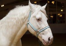 Το άλογο με τα μπλε μάτια και το μπλε halter είναι στο σταύλο Στοκ Φωτογραφίες