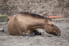 Το άλογο με colic καθορίζει και ύπνος έξω Στοκ εικόνα με δικαίωμα ελεύθερης χρήσης