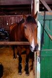 Το άλογο σε έναν σταύλο στο Ekka βασιλικό Queensland παρουσιάζει στοκ εικόνες